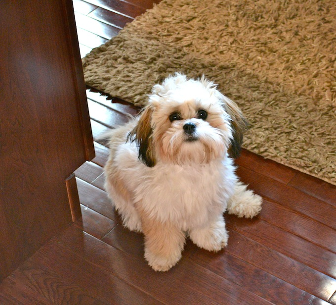 Shichon Puppy Stuck On Sweet